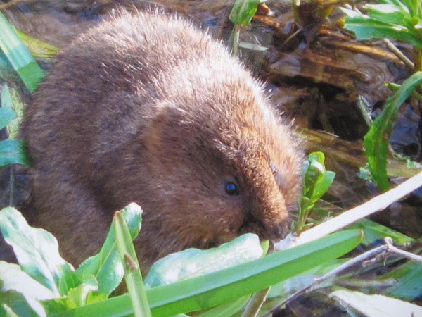 Picture of a water vole feeding