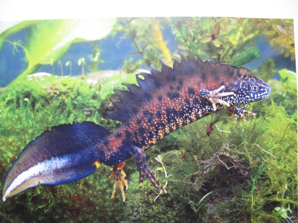 Picture of Great Crested Newt swimming