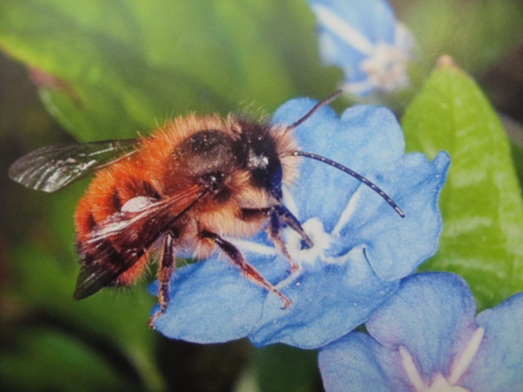 Red Mason bee on blue flower