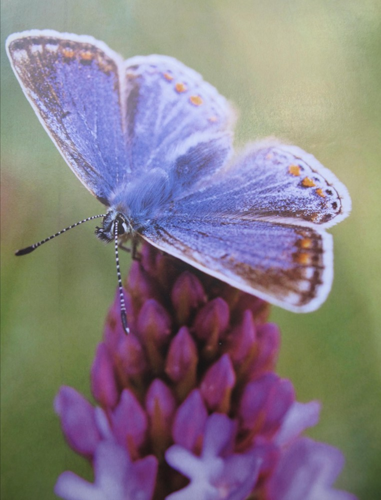 Picture of Common Blue Butterfly collecting nectar from flower